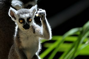 300_jes_mugley_flick_com_lemur success kid